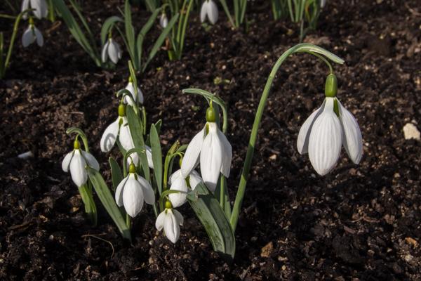 Galanthus 'Daglingworth' large seedling