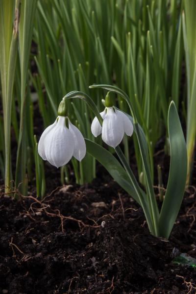 Galanthus 'Daglingworth' seedling
