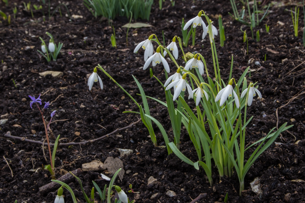 Galanthus 'Fiona's Gold'