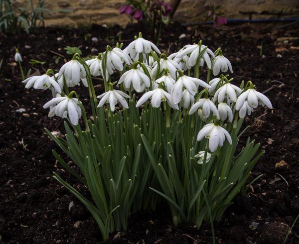Galanthus 'Floccon de Neige'