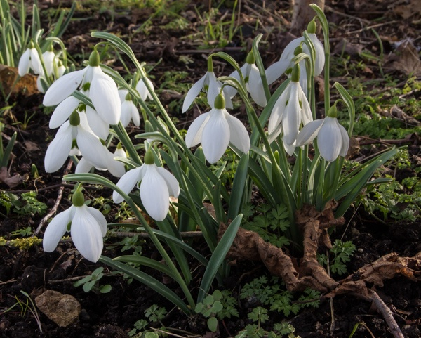 Galanthus 'Gerard Parker' (uncomfirmed)