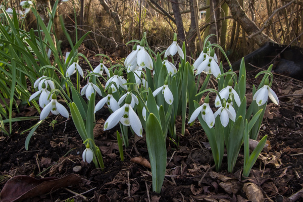 Galanthus 'Henly Greenspot'