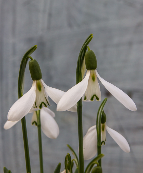 Galanthus koenenianus