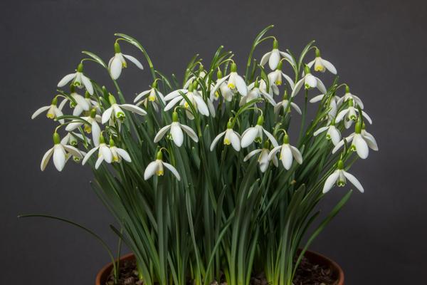 Galanthus nivalis 'Blonde Inge' (Exhibitor: Robert Rolfe)