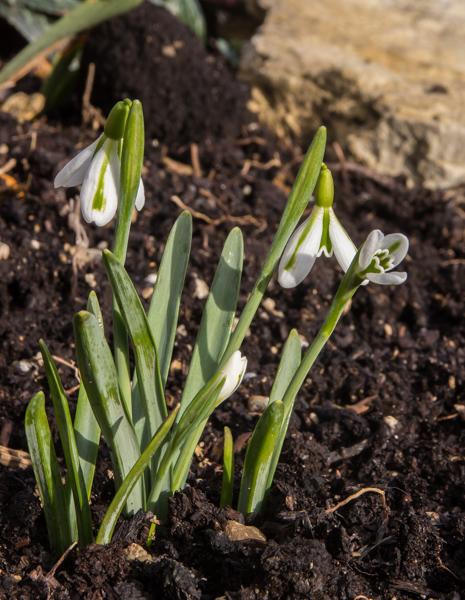 Galanthus seedling