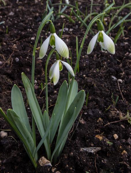 Galanthus Green-marked seedling