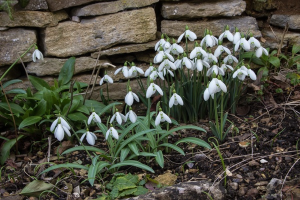 Galanthus at the front gate