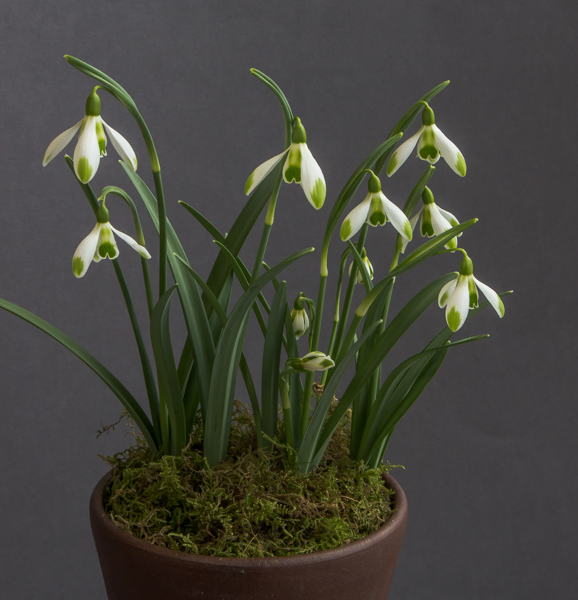 Galanthus x valentinei 'Joe Spotted' (Exhibitor: Ben & Paddy Parmee)