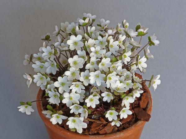 Hepatica henryi (Exhibitor: Bob Worsley)