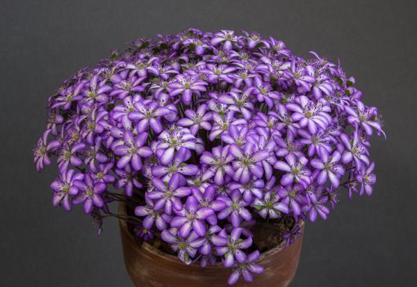 Hepatica japonica 'Utyuu' (Exhibitor: Bob Worsley)