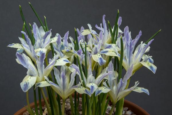 Iris 'Painted Lady' (Exhbitor: Pauline Carless)