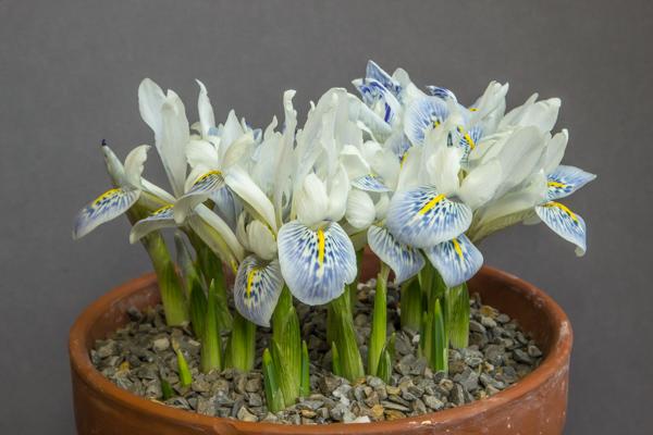Iris reticulata 'Polar Ice' (Exhibitor: Bob & Rannveig Wallis)
