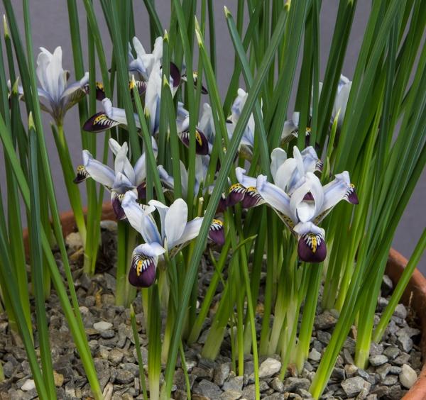 Iris zagrica (Exhibitor: Bob & Rannveig Wallis)