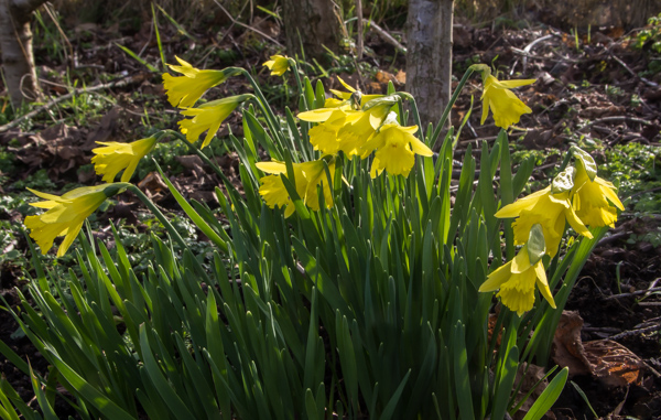 Narcissus 'Bowles's Early Sulphur'