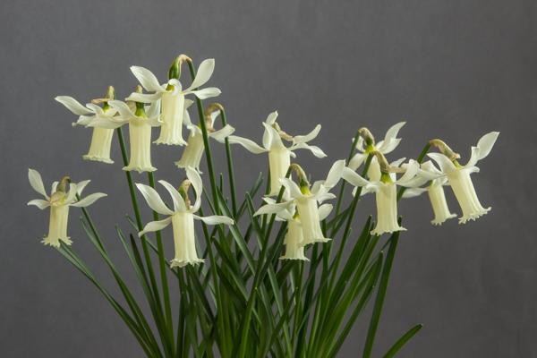 Narcissus alpestris x cyclamineus (Exhibitor: Bob & Rannveig Wallis)