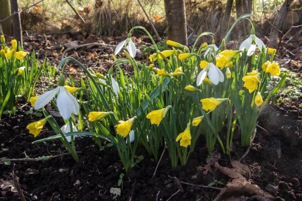 Narcissus asturiensis 'Navarre' and Galanthus 'Shackleton'