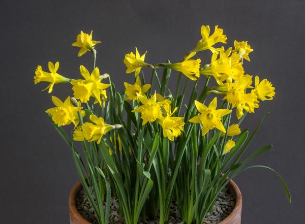 Narcissus jacetanus MS899 (Exhibitor: Bob & Rannveig Wallis)