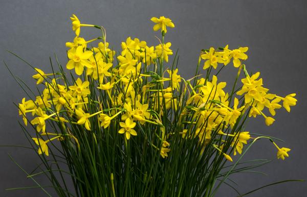 Narcissus jonquilla var henriquesii (Exhibitor: Bob & Rannveig Wallis)