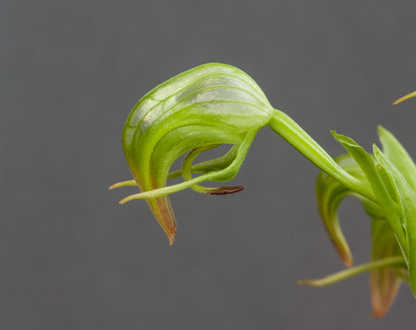 Pterostylis nutans (Exhibitor: Barry Tattersall)