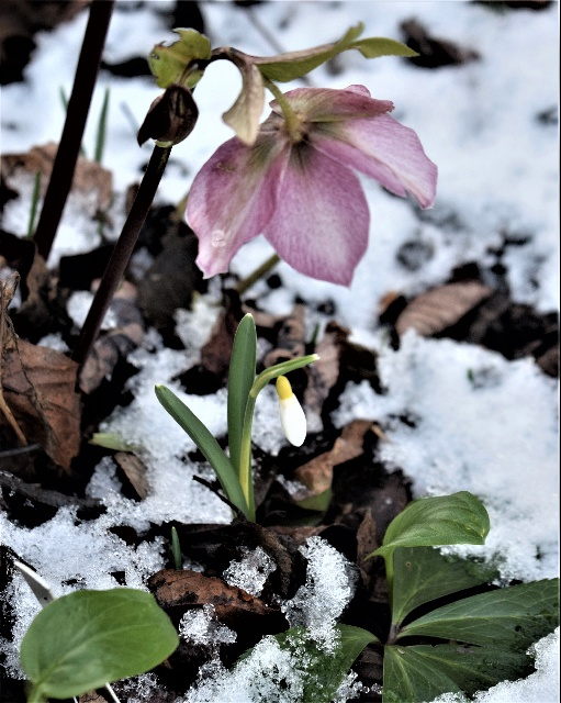 Hellebore and yellow snowdrop