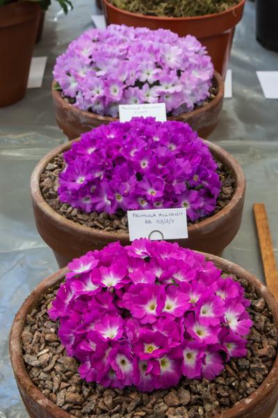Three pans of Primula allionii (Exhibitor: Ian Kidman)