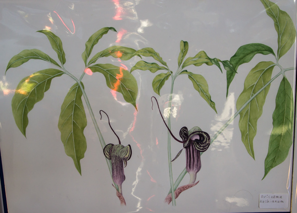 Arisaema kiushianum (Exhibitor: Rannveig Wallis)