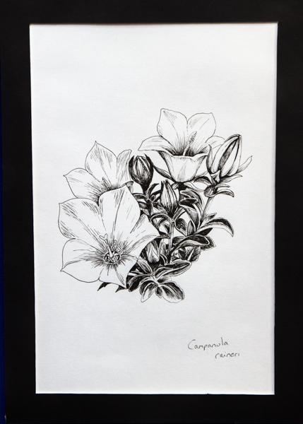 Campanula raineri (Exhibitor: Gemma Hayes)