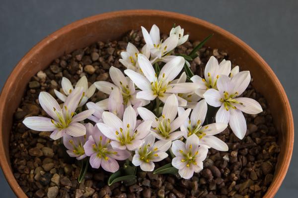 Colchicum hungaricum (Exhibitor: Diane Clement)