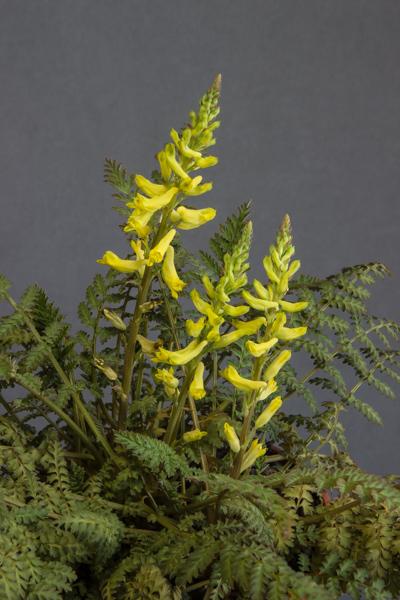 Corydalis cheilanthifolia (Exhibitor: Lesley Travis)
