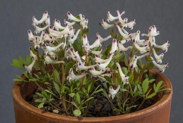Corydalis erdelii (Exhibitor: George Elder)