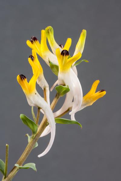 Corydalis schanginii var. ainii (Exhibitor: Bob & Rannveig Wallis)