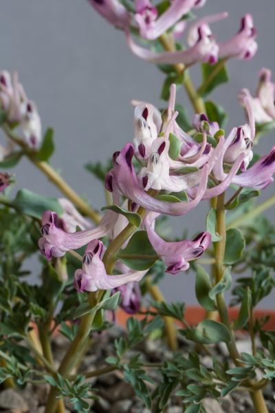 Corydalis verticillaris (Exhibitor: Bob & Rannveig Wallis)