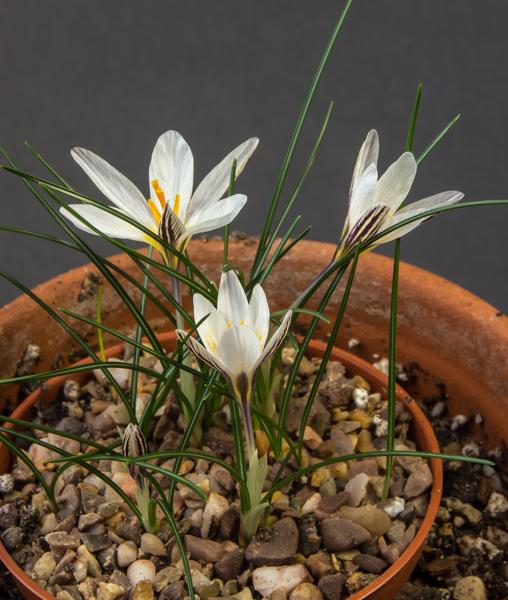 Crocus rhodensis (Exhibitor: Robert Rolfe)