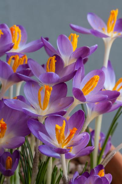 Crocus tommasinianus 'Barrs Purple' (Exhibitor: Brenda Nickels)