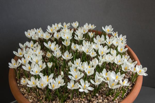 Crocus vernus albiflorus (Exhibitor: Vic & Janet Aspland)