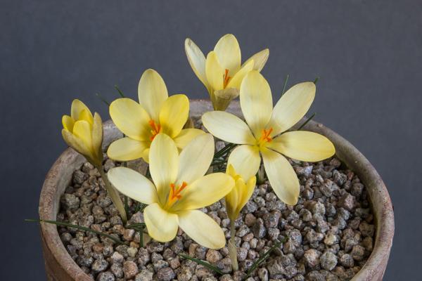 Crocus weldenii x chrysanthus 'Middleton Cream' (Exhibitor: Ian Robertson)