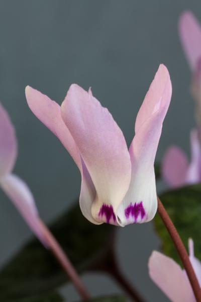 Cyclamen libanoticum (Exhibitor: Bob Worsley)