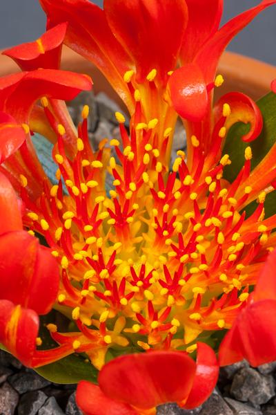 Daubenya aurea (Exhibitor: George Elder)