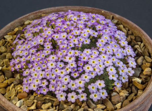 Dionysia curviflora ENF93-11 (Exhibitor: Paul & Gill Ranson)