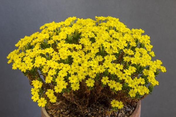Dionysia revoluta subsp. revoluta (Exhibitor: Mark Childerhouse)