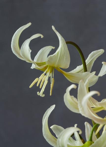 Erythronium 'Margaret Mathew' (Exhibitor: George Elder)