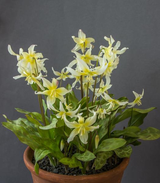 Erythronium californicum (Exhibitor: Bob & Rannveig Wallis)