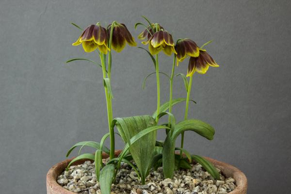 Fritillaria argolica (Exhibitor: Ian Robertson)