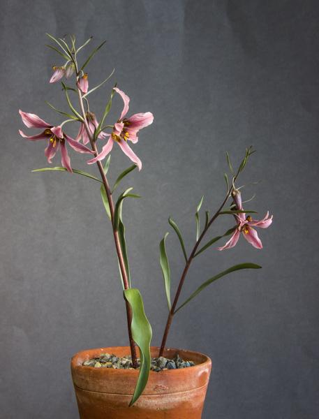 Fritillaria ariana JJA seed (Exhibitor: Bob & Rannveig Wallis)