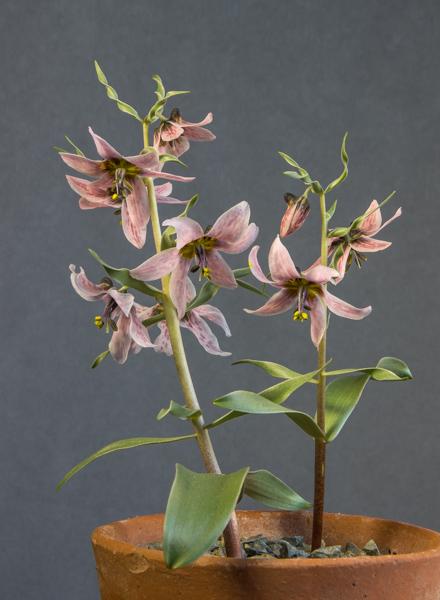 Fritillaria ariana Michael Kammerlander seed (Exhibitor: Bob & Rannveig Wallis)