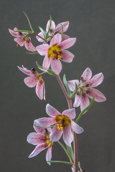 Fritillaria ariana (Exhibitor: Bob & Rannveig Wallis)