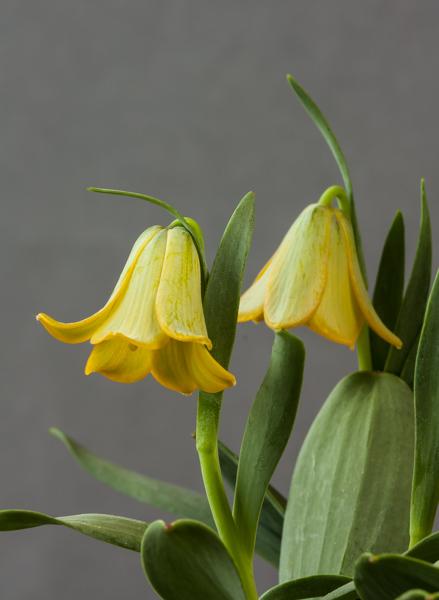 Fritillaria bithynica (Exhibitor: Lee & Julie Martin)