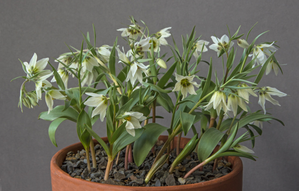 Fritillaria bucharica 'Pulkhakim' form (Exhibitor: Bob & Rannveig Wallis)