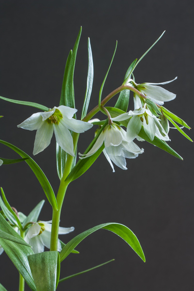 Fritillaria bucharica (Exhibitor: George Elder)