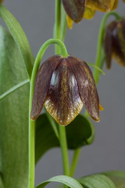 Fritillaria davisii (Exhibitor: Ben & Paddy Parmee)